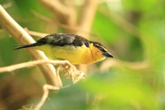 Black-necked weaver Royalty Free Stock Images