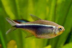 Black Neon Tetra. Fish in the aquarium Stock Photos
