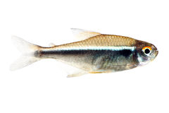 Black neon tetra fish. Isolated white Stock Photos