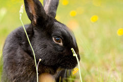 Black new zealand rabbit in a field of flowers Stock Photo