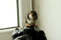 The black newborn chicken is on the camera, which is near the window. He looks at the camera. Photo Stock Image