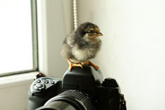 The black newborn chicken is on the camera, which is near the window. He looks at the camera. Photo Royalty Free Stock Photography