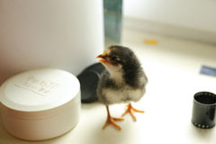 The black newborn chicken is standing on the windowsill and beautifully gives a voice. Near the film Stock Photo