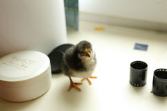 The black newborn chicken is standing on the windowsill and looks cute into the camera. Near the film 35mm Stock Image