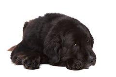 Black Newfoundland dog Stock Image