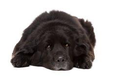 Black Newfoundland dog Royalty Free Stock Photo