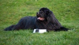 Black newfoundland dog Stock Images