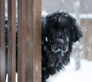 Black Newfoundland dog standing in a snowstorm with sad face. Snowy image of a black newfoundland dog peering around a fence with a sad face, covered in snow royalty free stock photography