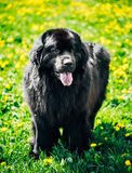 Black Newfoundland Dog Summer Meadow. Outdoor Full Stock Photography