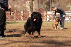 Black newfoundland dog in the training lesson. In the park stock photos