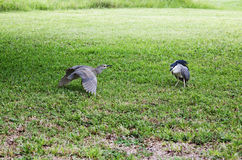 Black  night heron and chicks protecting territory Stock Photography