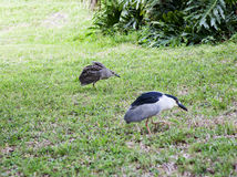 Black  night heron and chicks protecting territory Stock Image