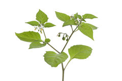 Black Nightshade Royalty Free Stock Photos