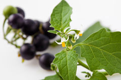 Black nightshade, blossoms, fruits, leaves, blossoms, poisonous. Plant isolated on white background royalty free stock images