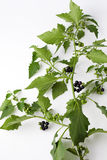Black nightshade, blossoms, fruits, leaves, poisonous plant Royalty Free Stock Photos