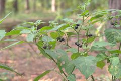 Black nightshade bush with lots of mature and ripening purple-bl. Ack berries, among green foliage royalty free stock photography