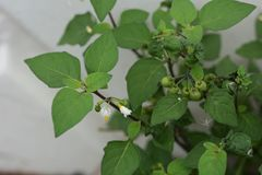 Black nightshade. Is seen in the streets royalty free stock images