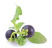 Black nightshade Solanum nigrum. Black nightshade, fruits, leaves, poisonous plant, white background royalty free stock photography