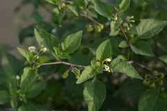 Black nightshade. Is a weed growing on the roadside and is a toxic plant containing alkaloids stock photo