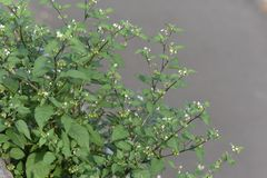 Black nightshade. Is a weed growing on the roadside and is a toxic plant containing alkaloids royalty free stock images