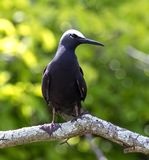 Black Noddy bird Stock Photography