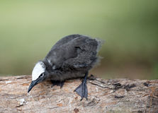 Black noddy chick Stock Photos