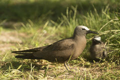 Black noddy with chick Royalty Free Stock Image