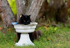 Black norwegian forest cat female with water pot Stock Photos