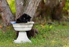 Black norwegian forest cat with water pot Stock Photography
