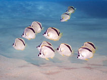 Black-nosed Butterflyfish Stock Photography