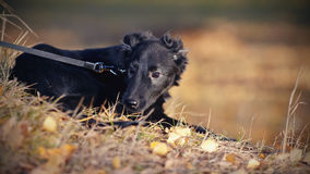 Black not purebred puppy Royalty Free Stock Photos