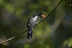 Black nunbird, Monasa atra Royalty Free Stock Image