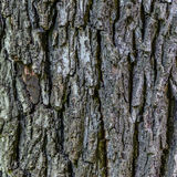 Black nut tree texture Royalty Free Stock Images