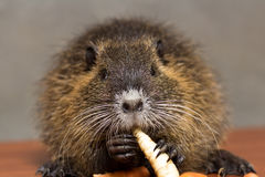 Black nutria eats a carrot Royalty Free Stock Image