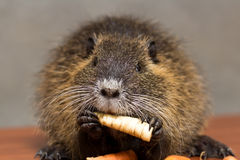 Black nutria eats a carrot Royalty Free Stock Photography