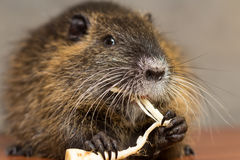 Black nutria eats a carrot Stock Photography