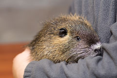 Black nutria in the hands of a child Royalty Free Stock Image