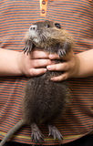 Black nutria in the hands of a child Stock Photos