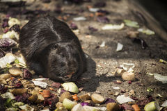 black nutria Royalty Free Stock Image