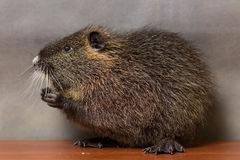 Black  nutria washes Stock Photography