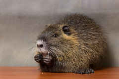 Black  nutria washes Royalty Free Stock Photography
