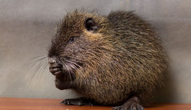 Black nutria washes Stock Photo