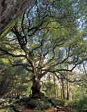 Black Oak Tree, Royalty Free Stock Photos