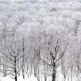 Black oak tree bare trunks in forest in winter Stock Photo