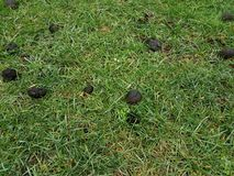 Black oak tree galls or seed pods on green grass. Or lawn royalty free stock images