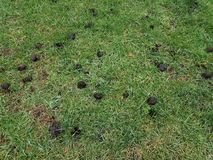 Black oak tree galls or seed pods on green grass. Or lawn royalty free stock photography