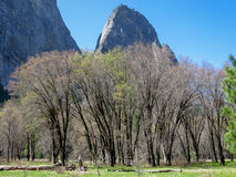Black oaks in Yosemite Valley Royalty Free Stock Photo