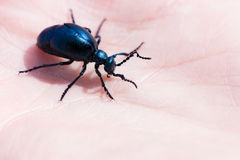 Black oil beetle Stock Photography