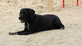 The black old dog lies on the sand in the hot summer. stock images
