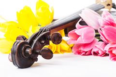 Black old violin. With tulips on white Stock Photo